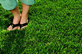 lawn grass supplier